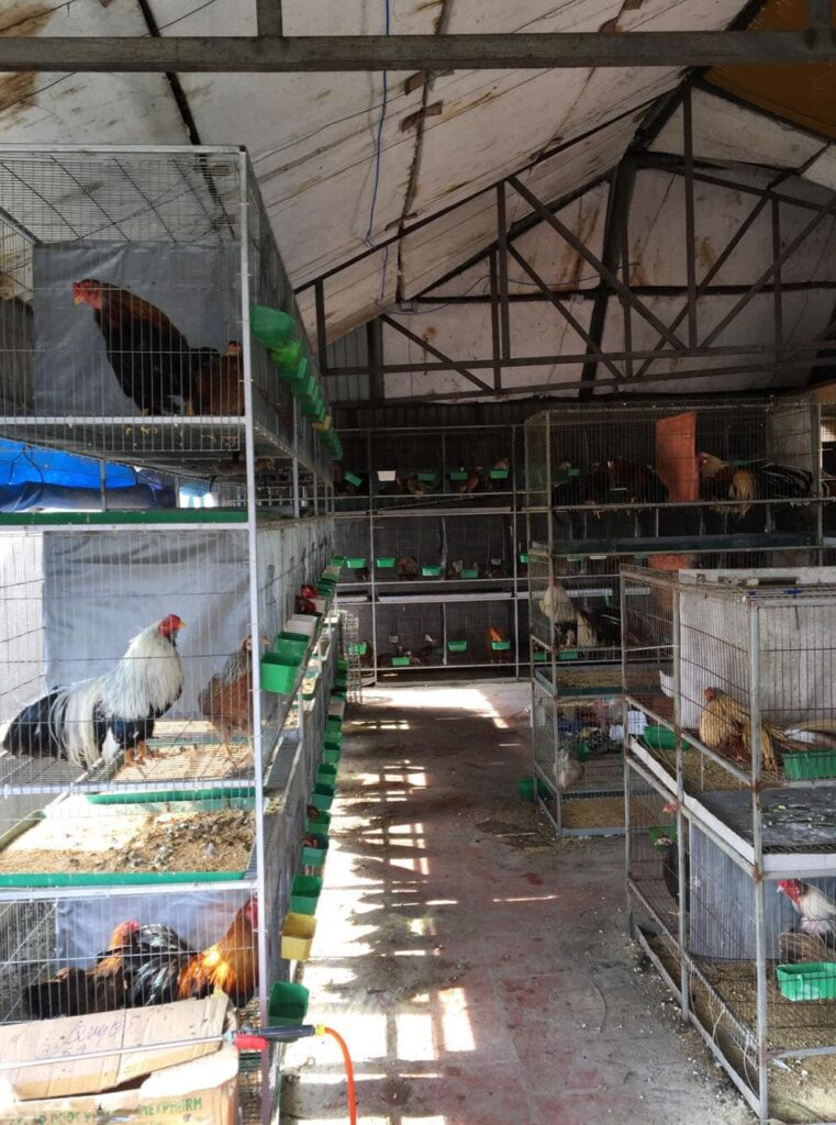Trại gà tre Tân Châu tại bắc ninh Giới thiệu 5