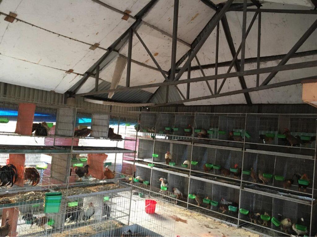 Trại gà tre Tân Châu tại bắc ninh Giới thiệu 3