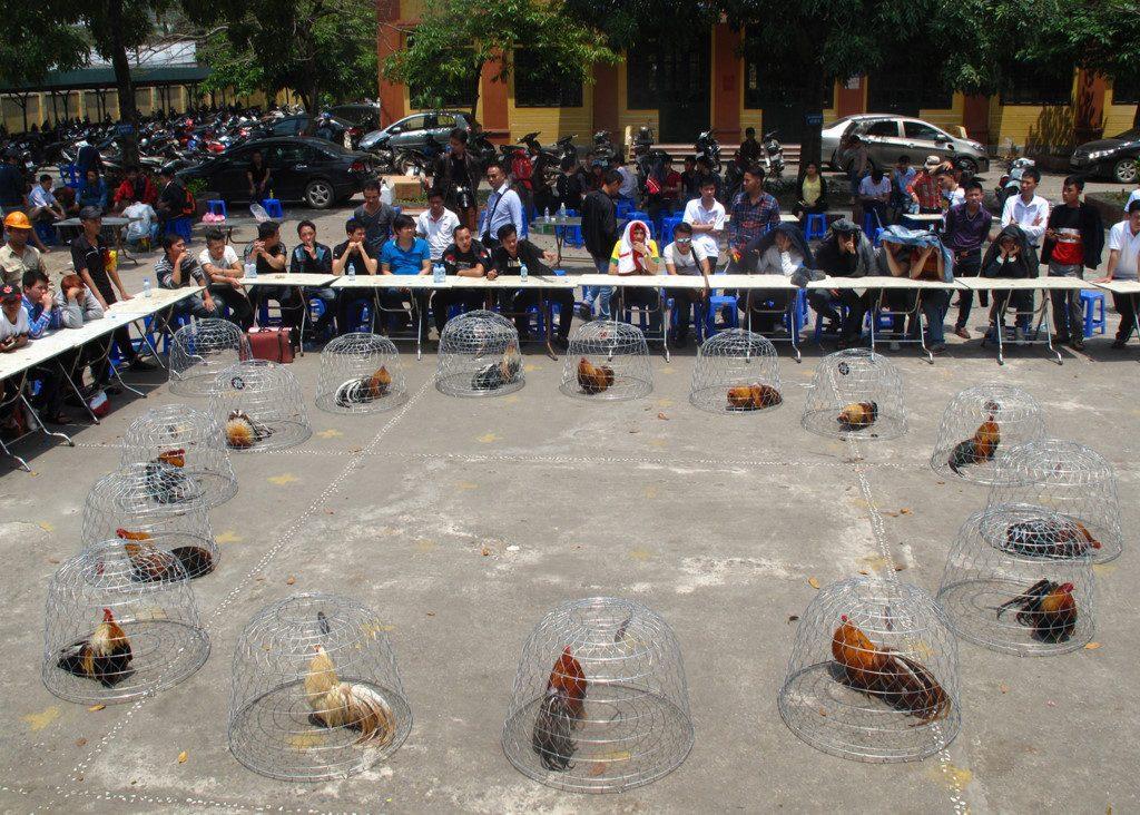 Đam Mê Gà Cảnh Tân Châu