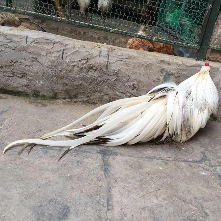 gà tân châu màu cú trắng