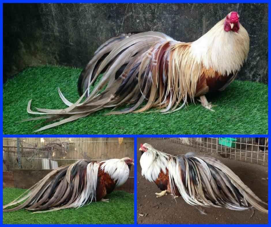 Trại gà tre Tân Châu tại bắc ninh chuyên Mua - Bán gà tre tân Châu thuần chủng lớn nhất việt nam với giá thành rẻ nhất cho anh em đam mê chơi gà tre cảnh