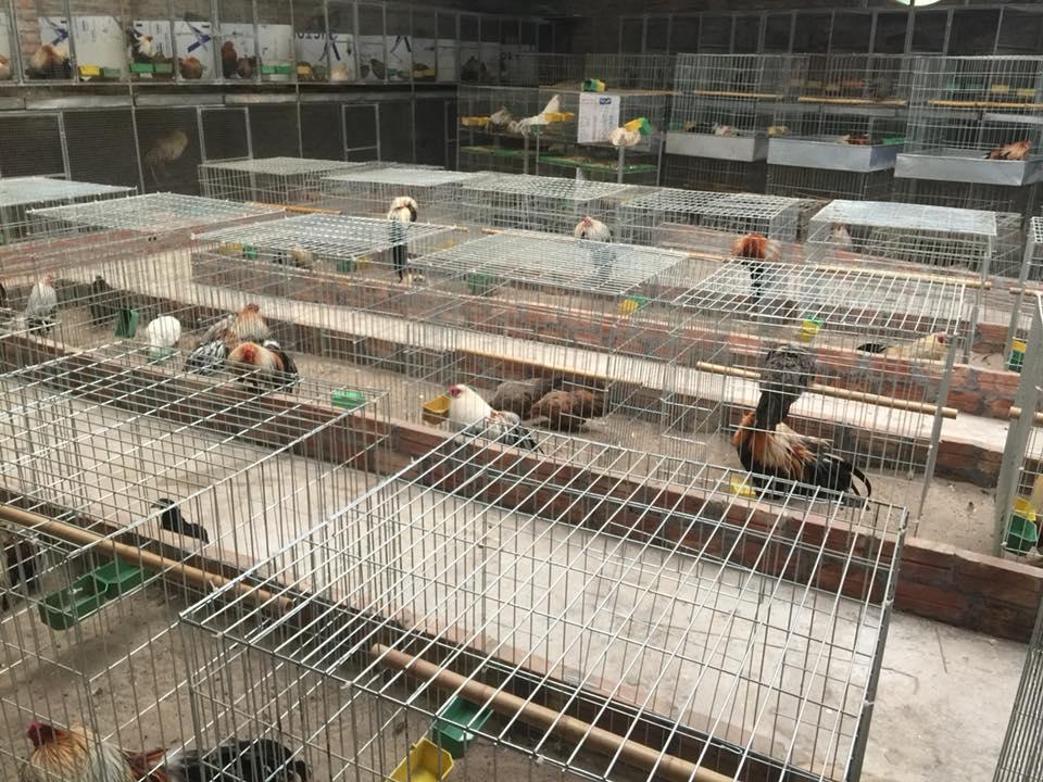 Chuồng gà chọi,chuồng gà tre,chuồng gà chọi đẹp,chuồng gà tre đẹp, làm chuồng nuôi gà tre đẹp,mẫu chuồng gà đẹp,chuồng gà,lồng gà,lồng nuôi gà,,lồng gà tre, chuồng gà tre,lồng nuôi gà tre,chuồng gà chọi,kích thước chuồng gà chọi,bán chuồng gà,mẫu chuồng gà chọi,mẫu chuồng gà,chuồng nuôi gà,bu nhốt gà chọi