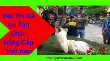 Hội Thi Gà tre Tân châu Đẳng Cấp Việt Nam