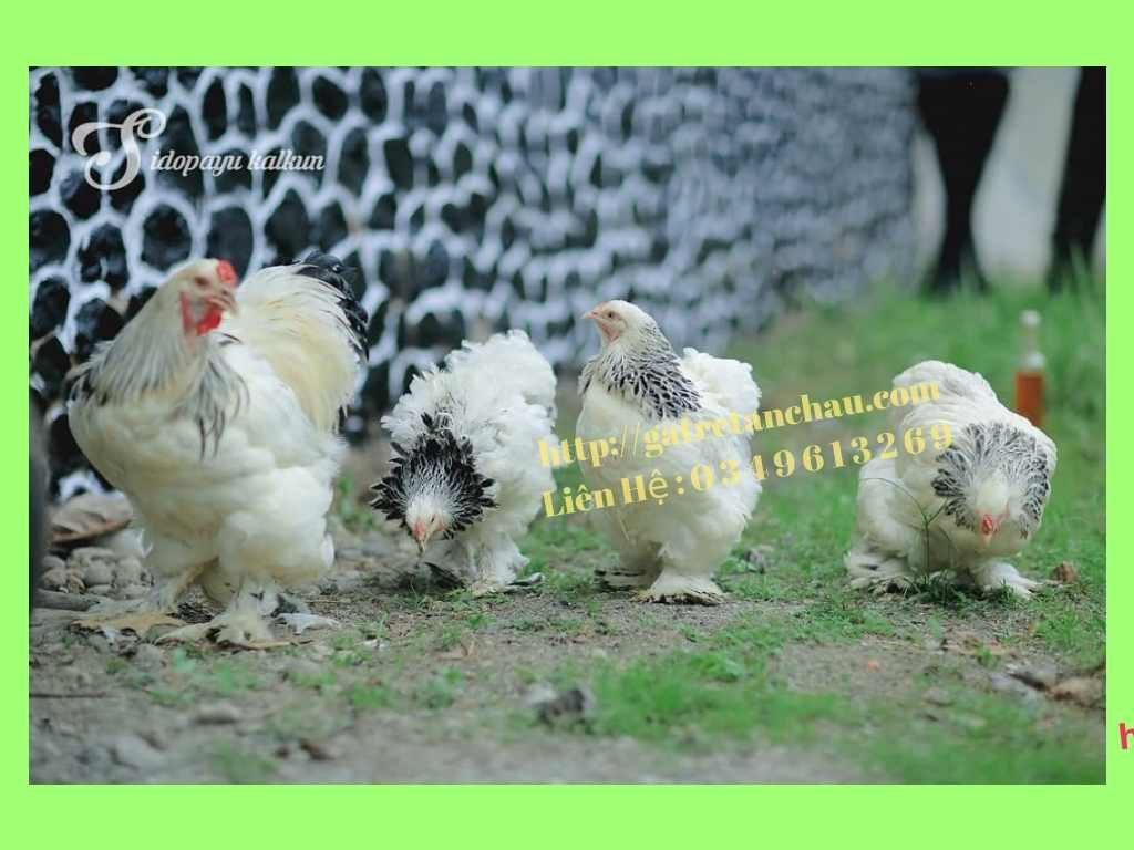 Bán Gà Brahma Thuần chủng- Gà kỳ lân (Gà khổng lồ) 14