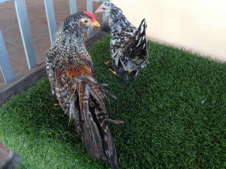 Bán gà tre tân châu con tại Hà Nội giá rẻ