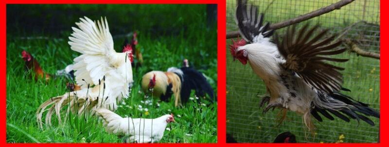 chóng nóng cho gà tre tân châu mùa nóng
