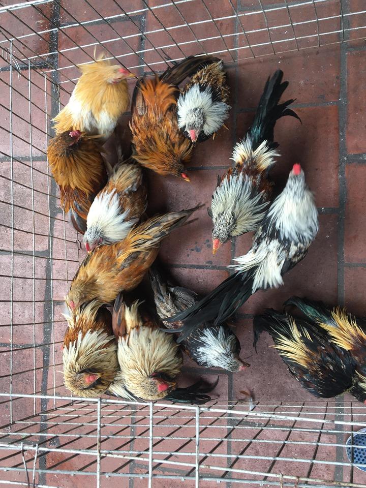 Bán gà tre tân châu con Giá rẻ