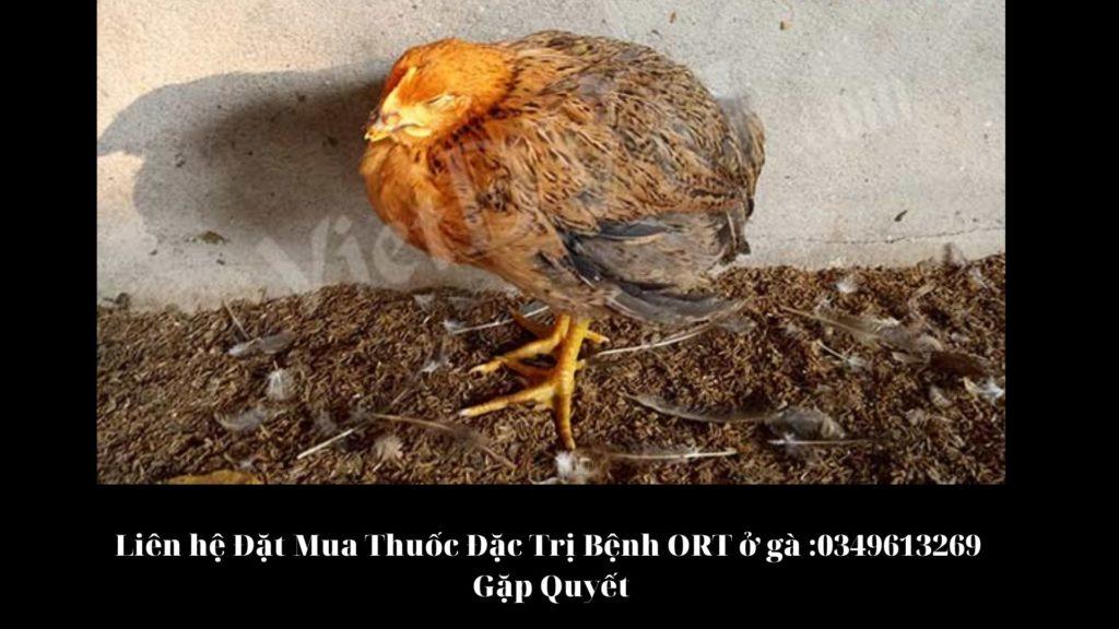 Bệnh ORT trên gà - Gà ủ rũ, mệt mỏi