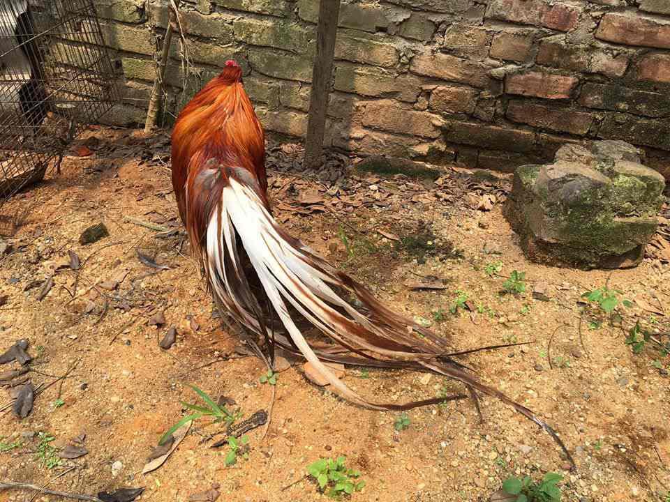 Bán gà tre tân châu khét đỏ