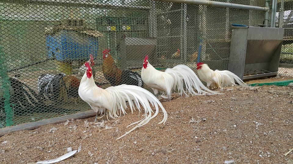 Gà Phoenix- gà phượng hoàng màu nhạn trắng