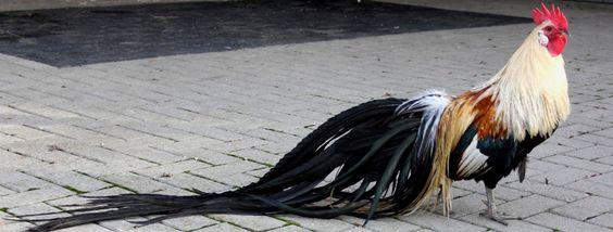 Gà Onagadori đuôi dài đẹp