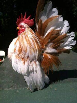 Gà serama loài gà nhỏ nhất thế giới