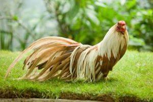 Gà tre tân châu – vẻ đẹp hoàn hảo không son phấn